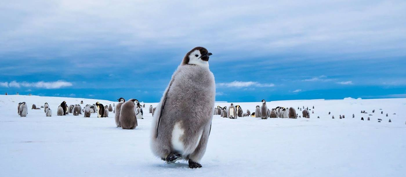 Emperor Penguin chick walking with blue skies behind