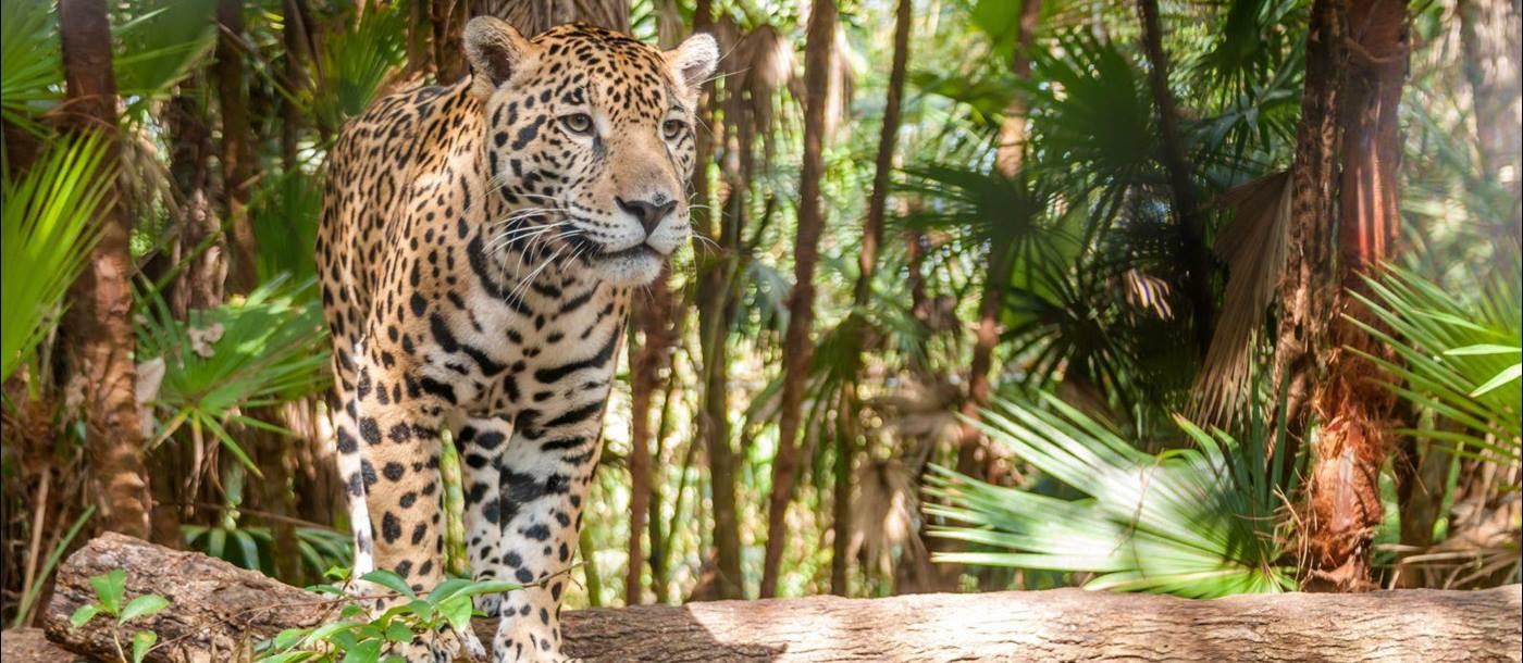 Jaguar walking in the jungle, Belize