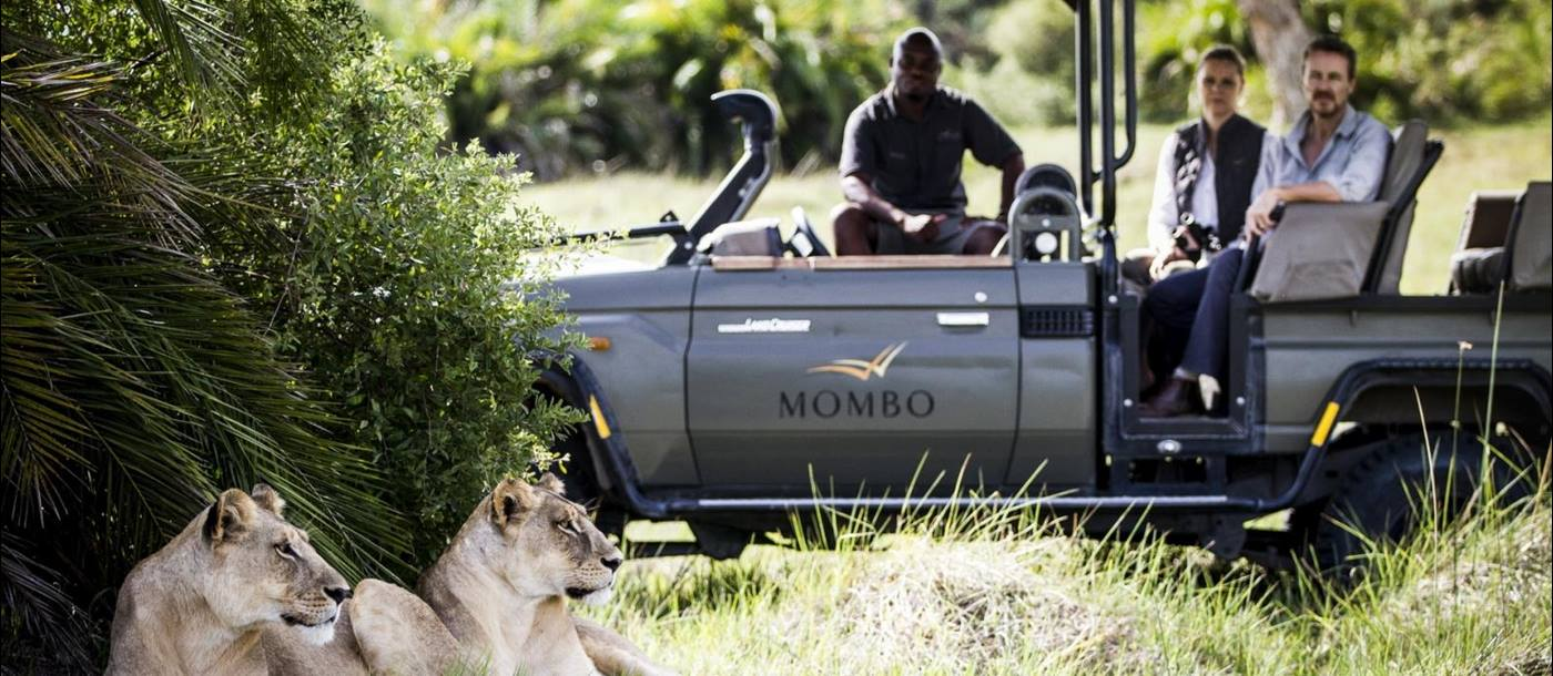 Two lionesses enjoying the shade with Mombo camp Safari vehicle parked behind