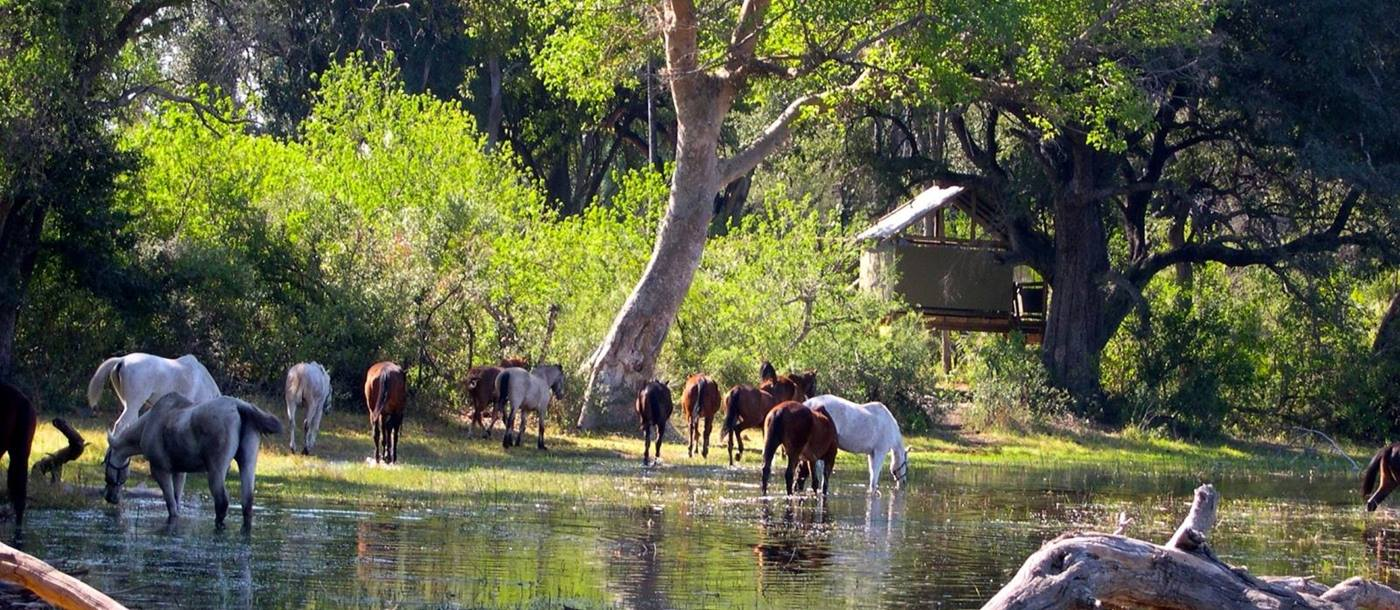 Horses in a river in front of camp