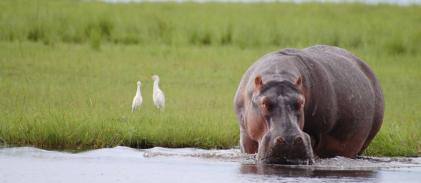 A hippo in Chobe National Park, Botswana