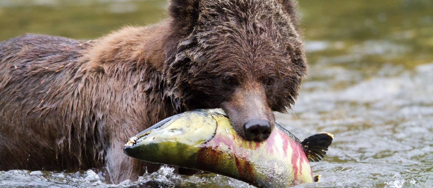 Bear catching salmon in river near Great Bear Lodge, Canada