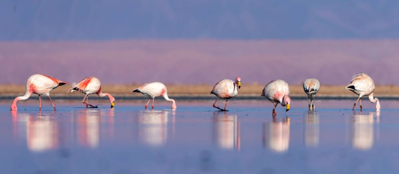 A row of flamingos reflected in a lagoon in the Atacama Desert in Chile