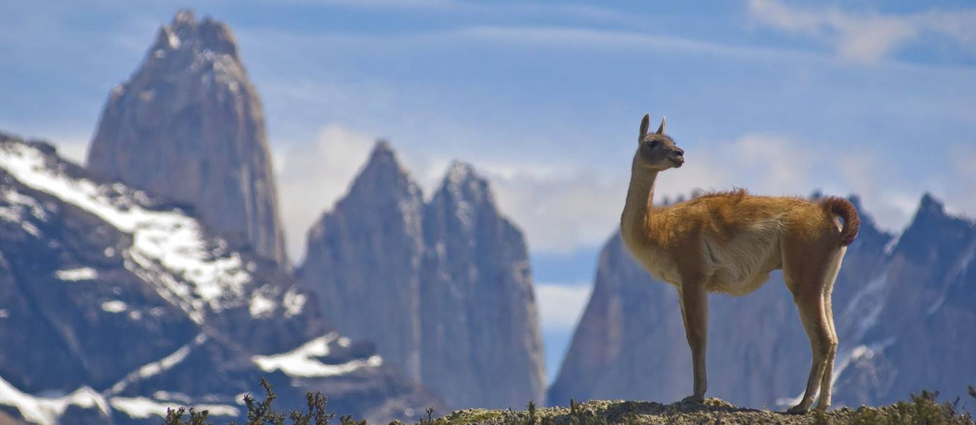 Lama in the mountains, Chile