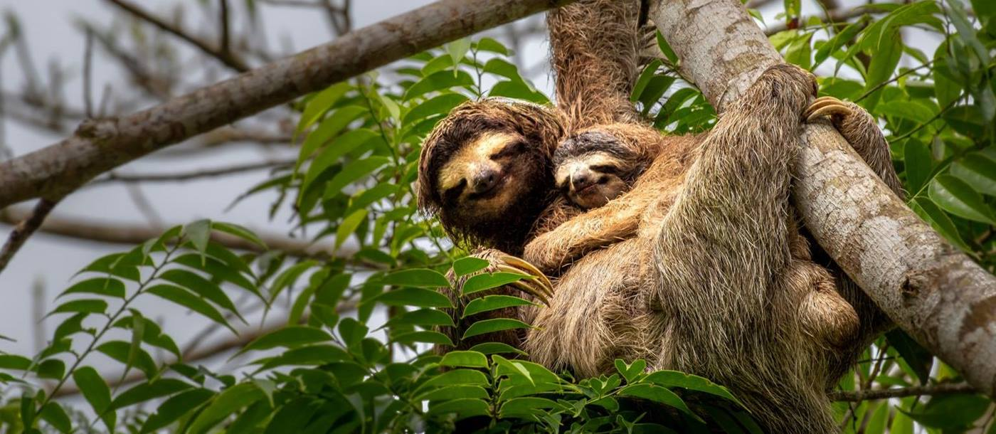 Mother and baby sloth in the treetops in Costa Rica