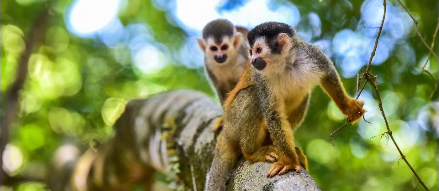 Squirrel monkeys in the treetops in Costa Rican forest