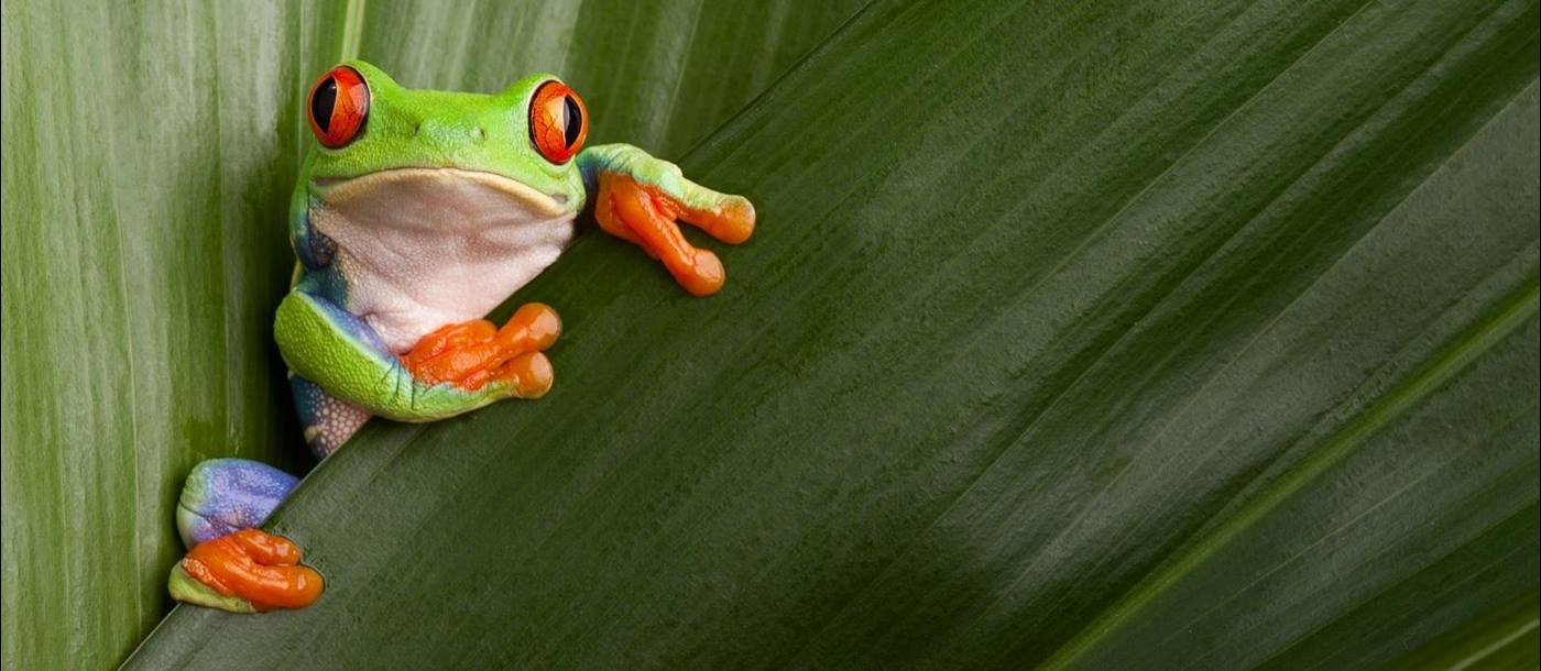 Red eyed tree frog perching on a leaf in Costa Rica