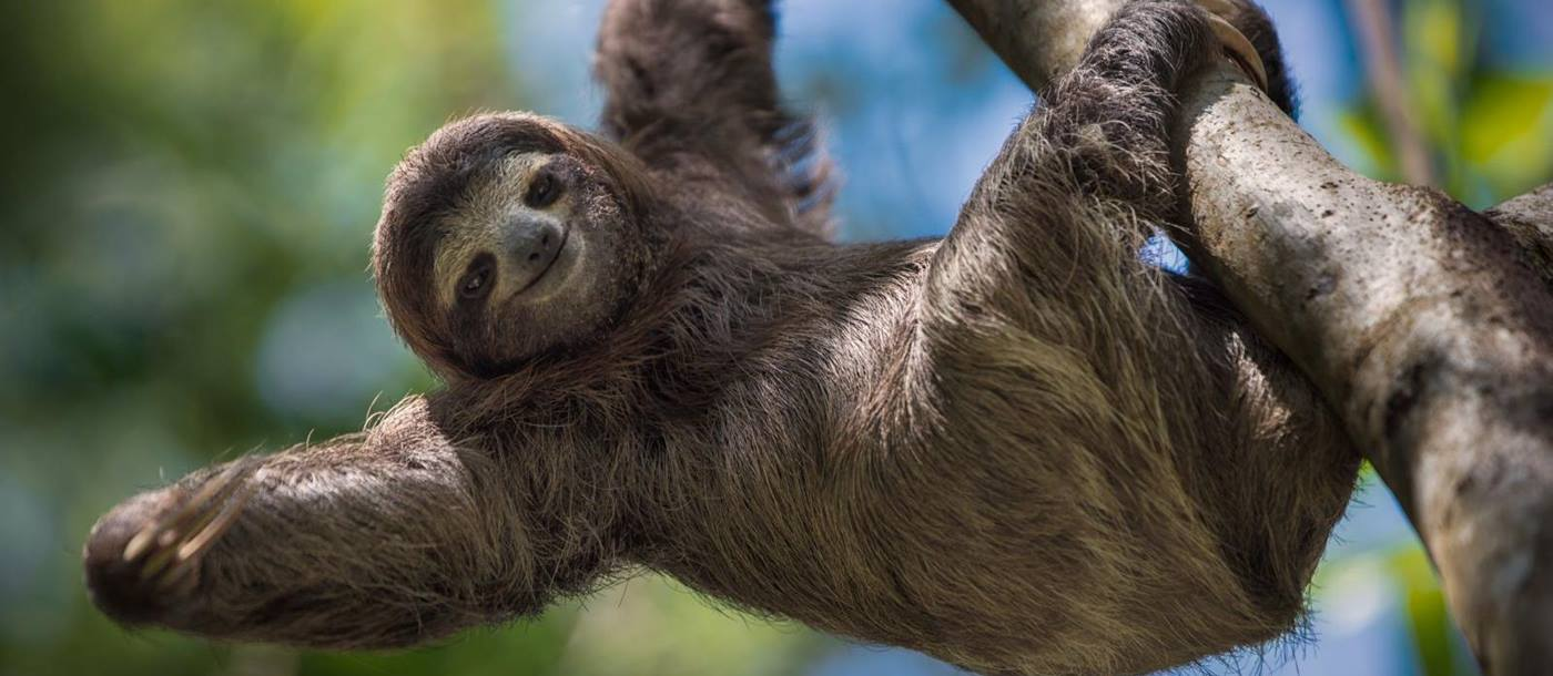 a sloth seen in central america