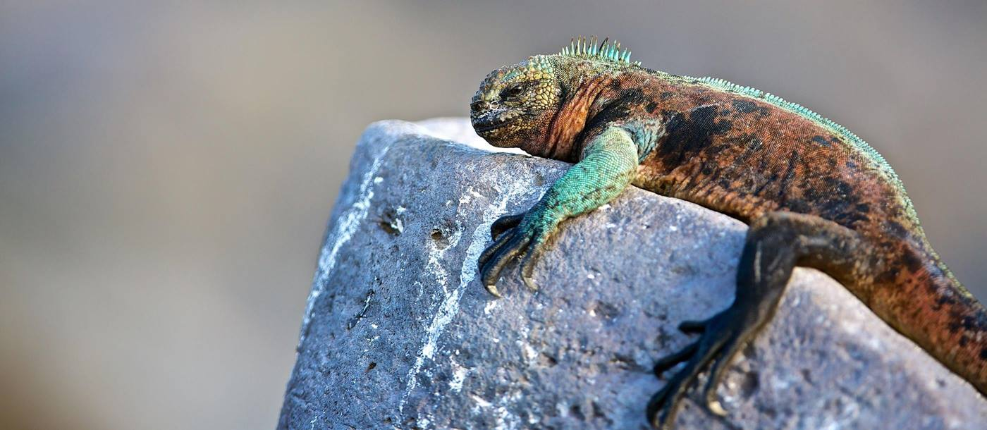 Iguana chilling on a  rock in Galapagos