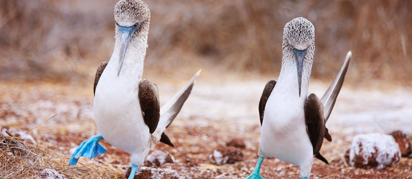 Blue footed Boobies on the Galapagos