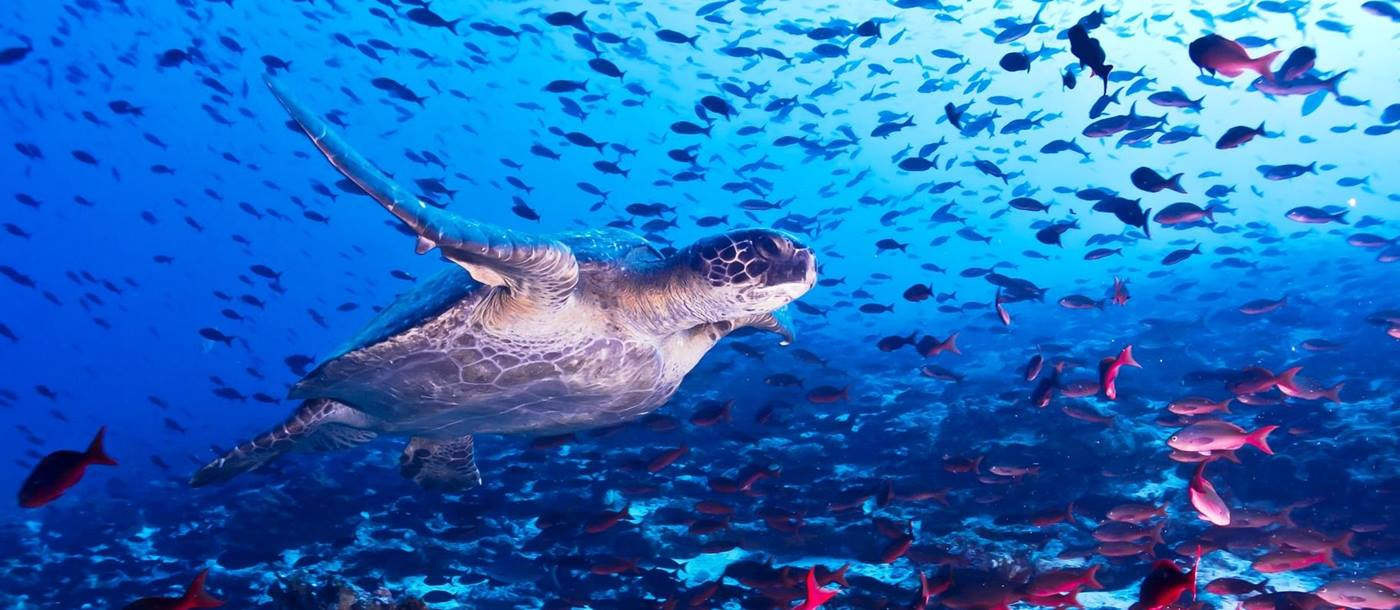 Turtle surrounded by fish, Galapagos