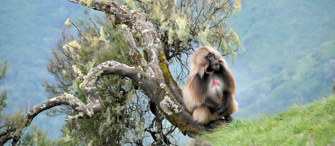 A gelada in the Simien Mountains