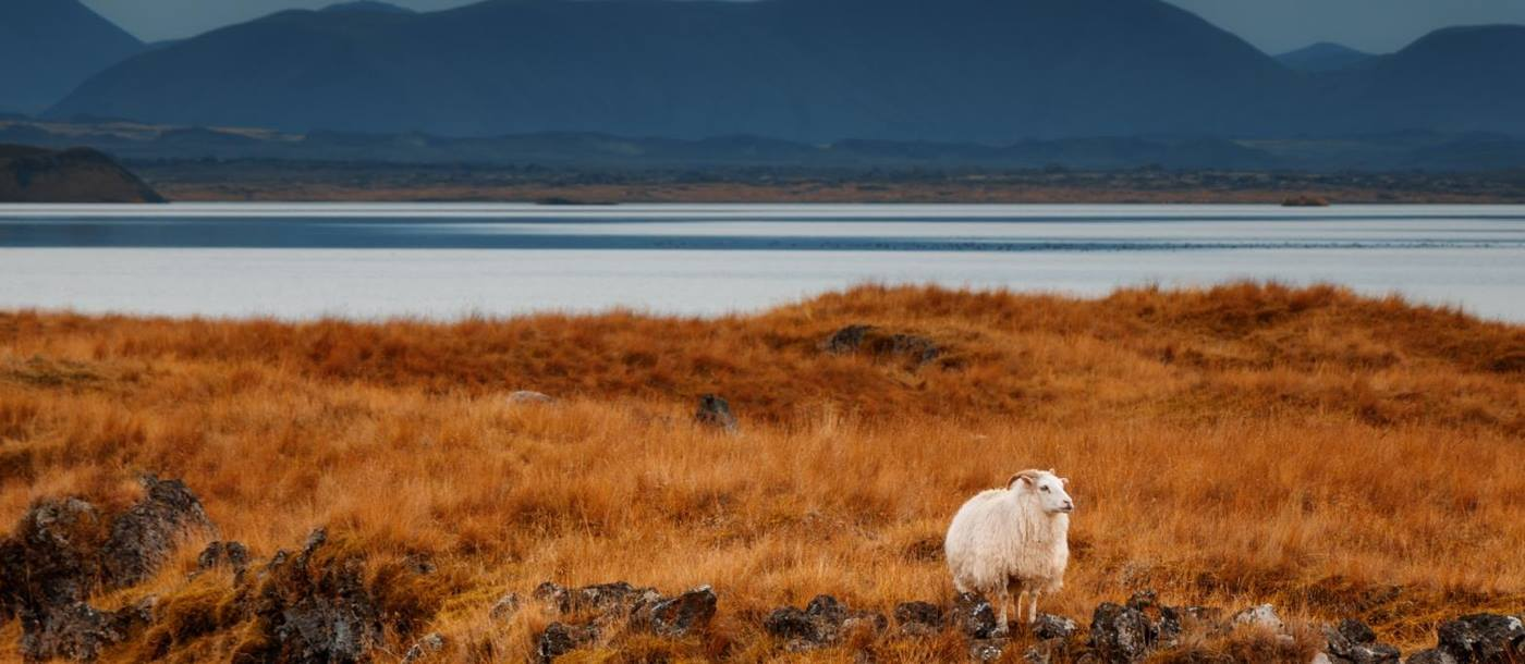Lone sheep in Iceland