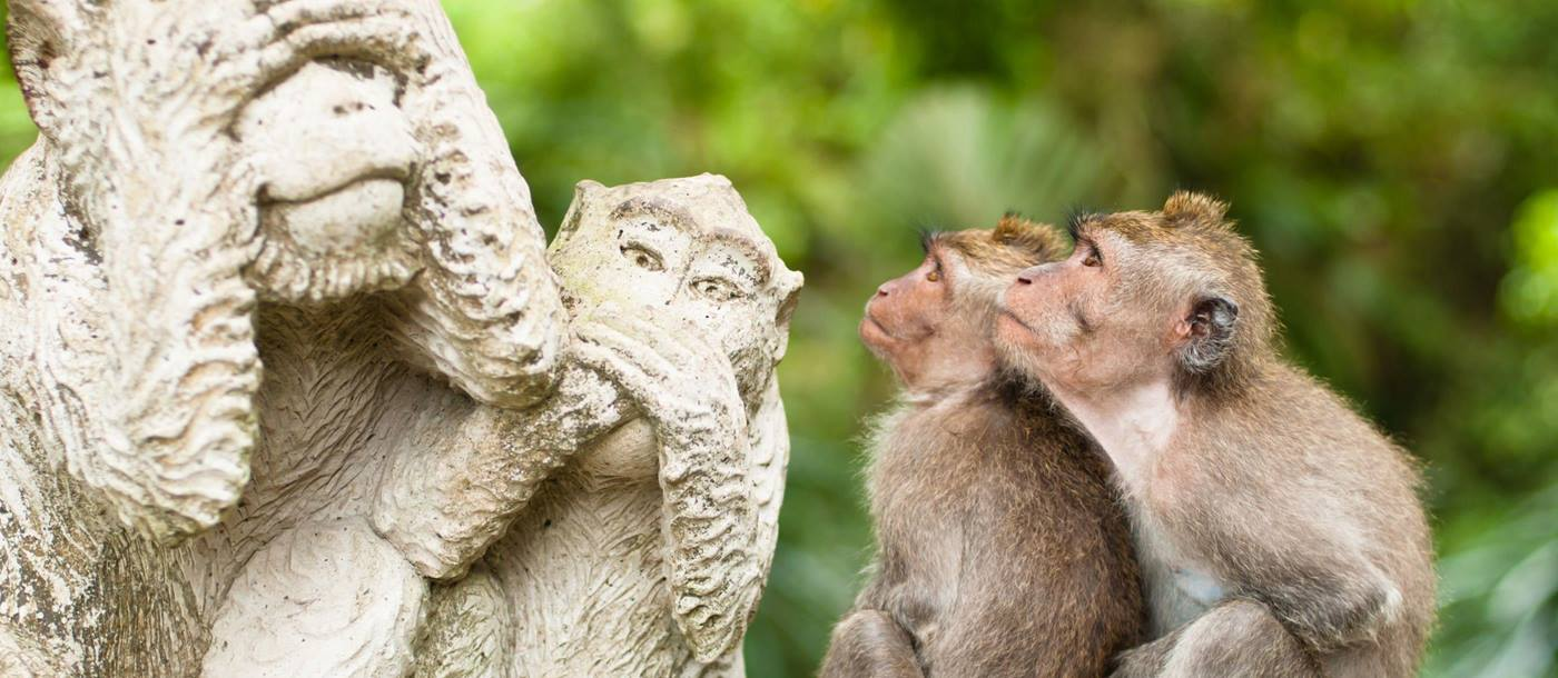 Macaques sacred monkey forest seen in Ubud Bali, Indonesia