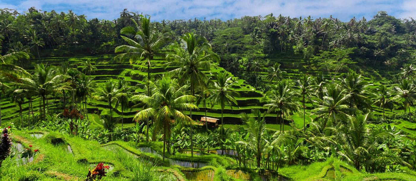 Rice fields in Ubud Bali, Indonesia