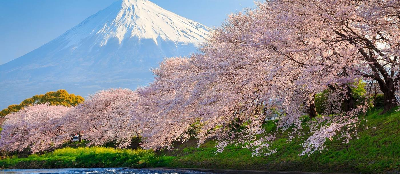 Sakura cherry blossom on the banks of a river with Mount Fuji in the background