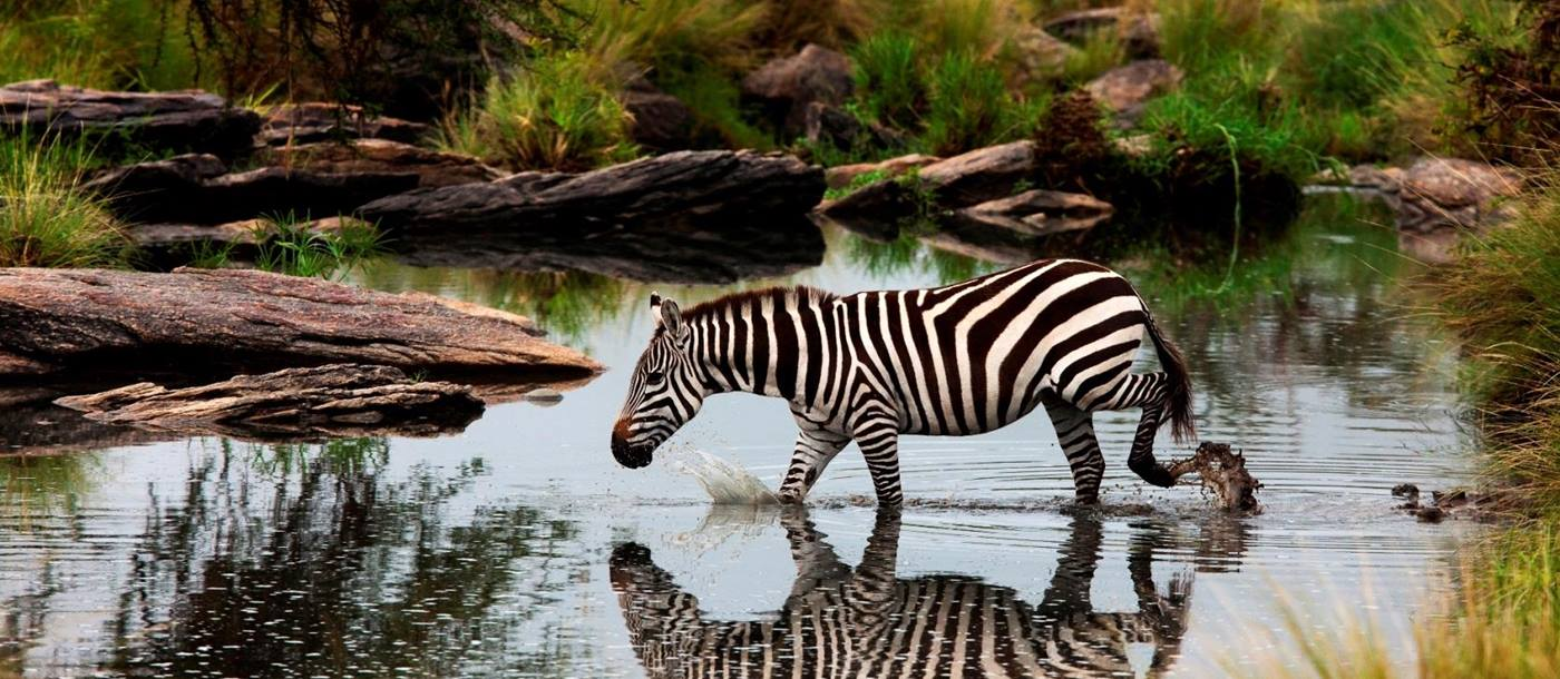 Zebra walking through water near Mara expedition camp, kenya