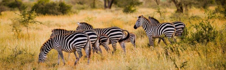 Zebra and Acacia trees in the Kenyan landscape