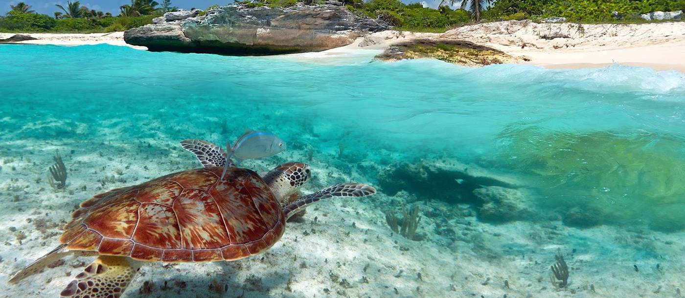 Turtle in Mexican waters