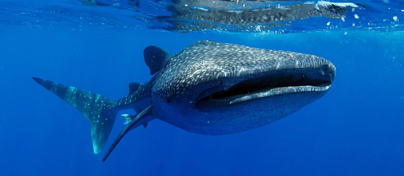 Whale shark in Mexican waters
