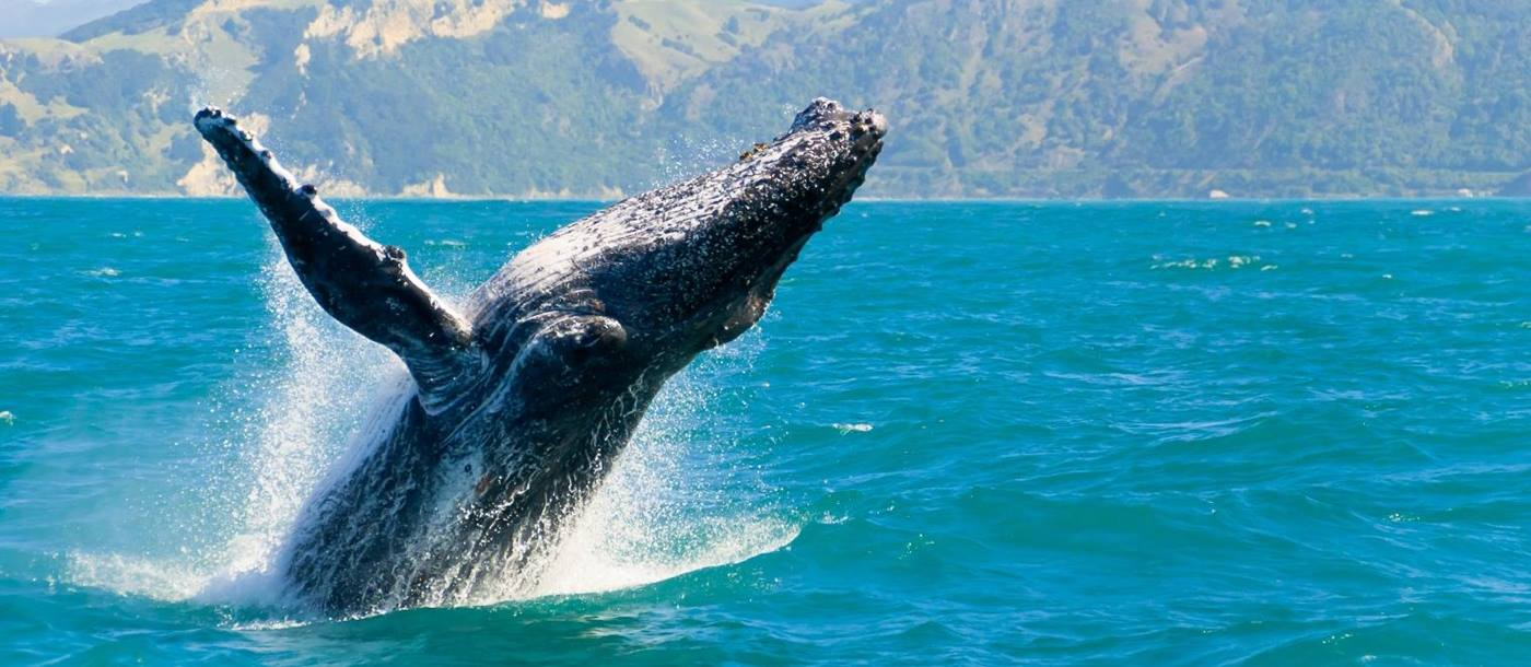 A whale in Kaikoura in New Zealand