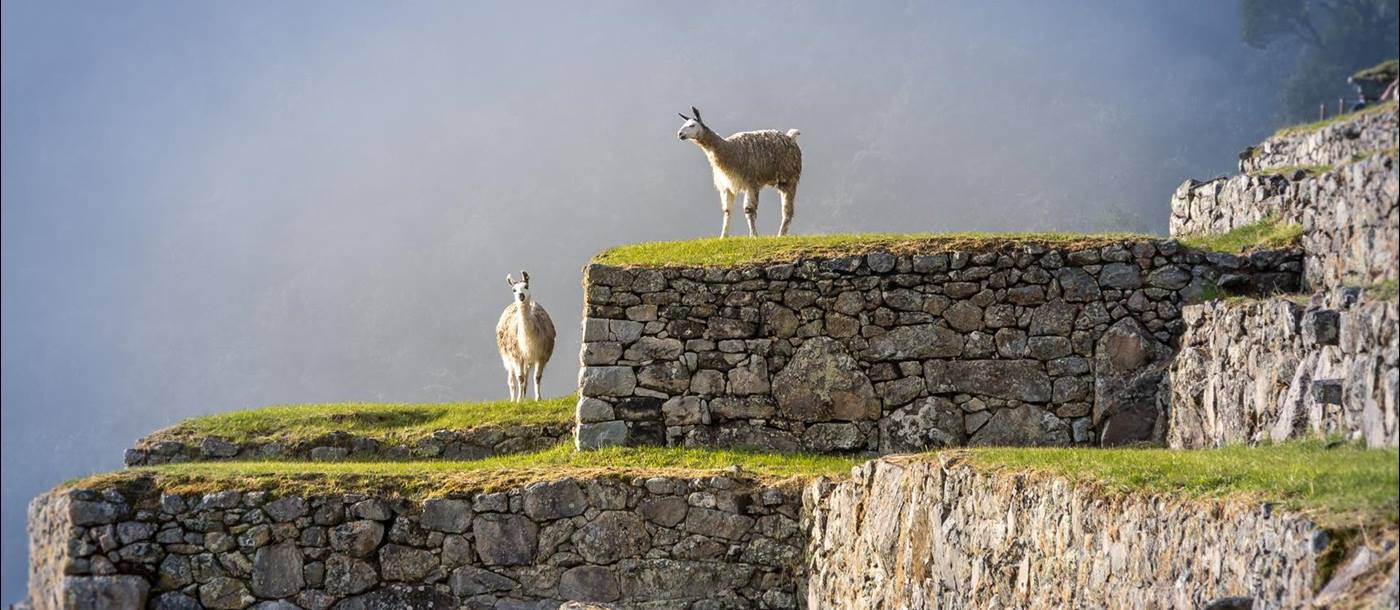 Inca ruins and alpacas