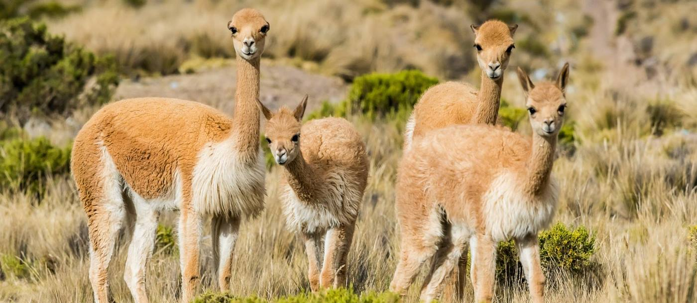 Vicunas in Peru