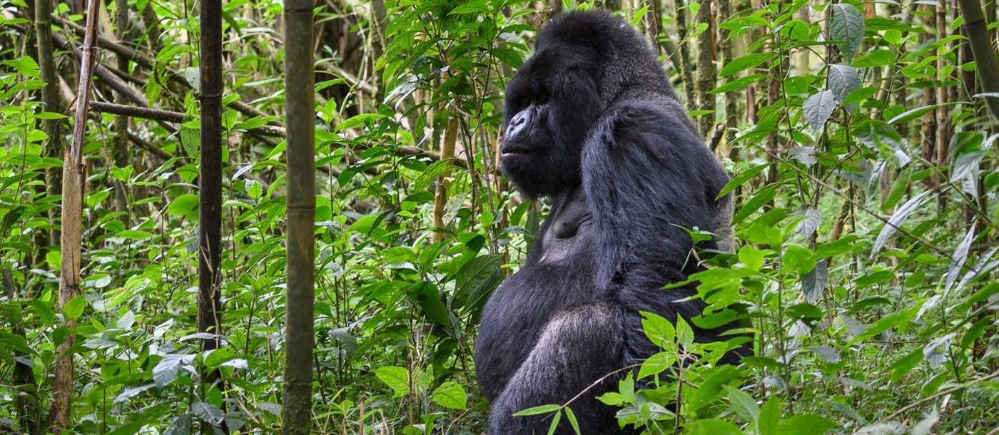 A gorilla sitting in a green leafy forest at Bisate Lodge Rwanda