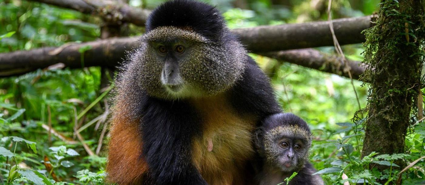 A monkey and baby monkey sitting in a tree at Bisate Lodge in Rwanda