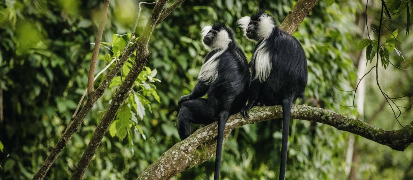 Colobus monkey - photo by Nyungwe House in Rwanda