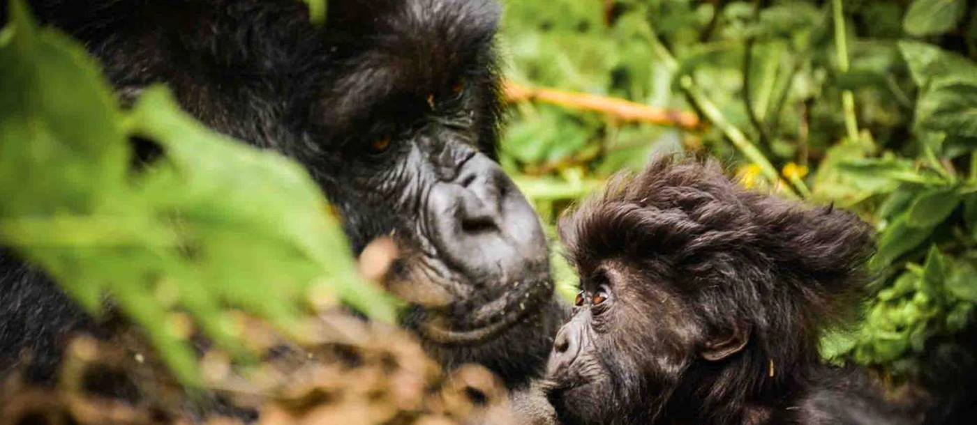 A close up picture of a gorilla and her baby in Rwanda