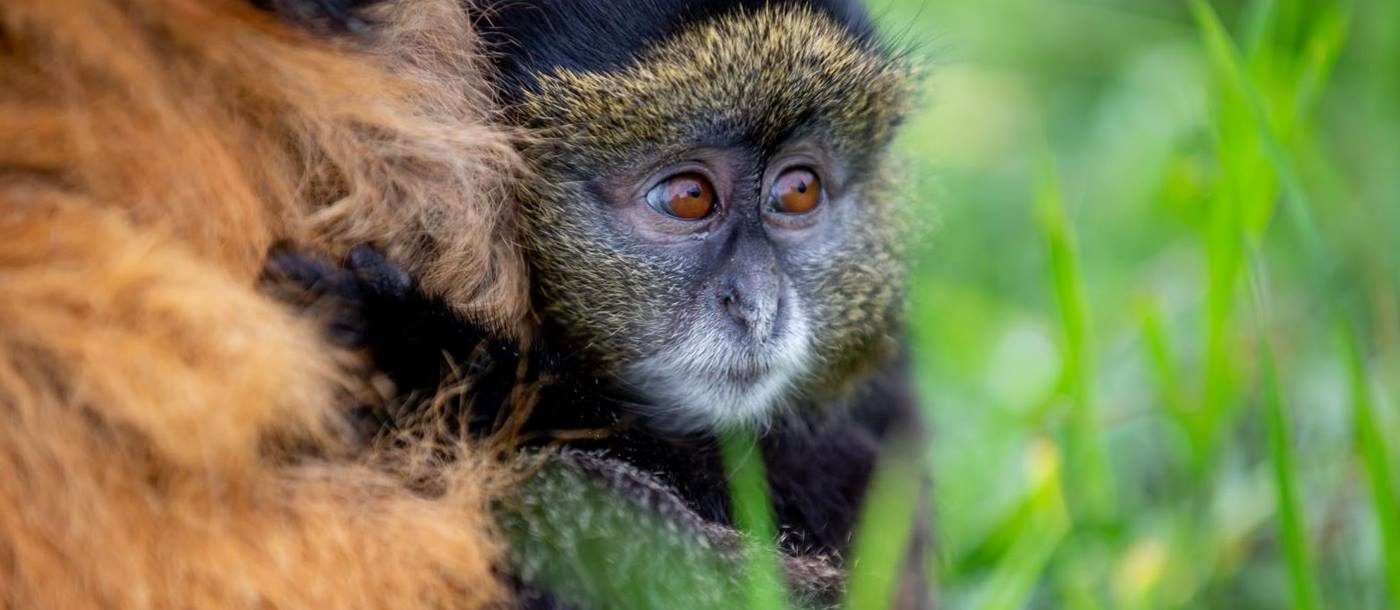 Golden monkey at Singita Kwitonda Lodge in Rwanda
