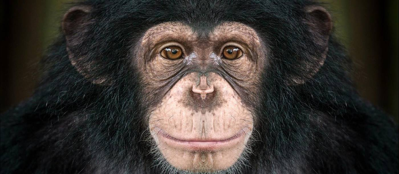 The face of a chimpanzee looking straight at the camera
