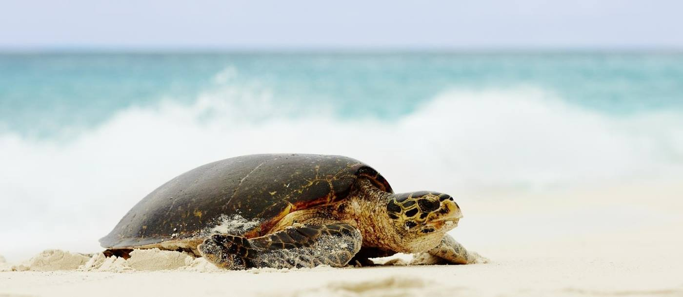 turtle at Fregate Island, Seychelles