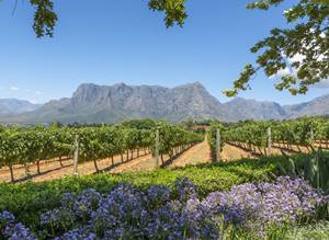 Vineyards close to Cape Town