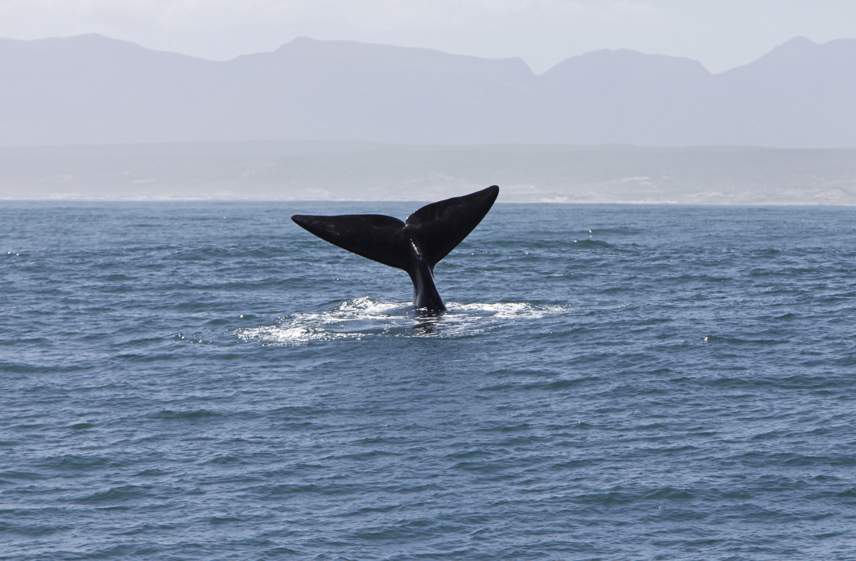 Whale fin visible above the water in South Africa's waters