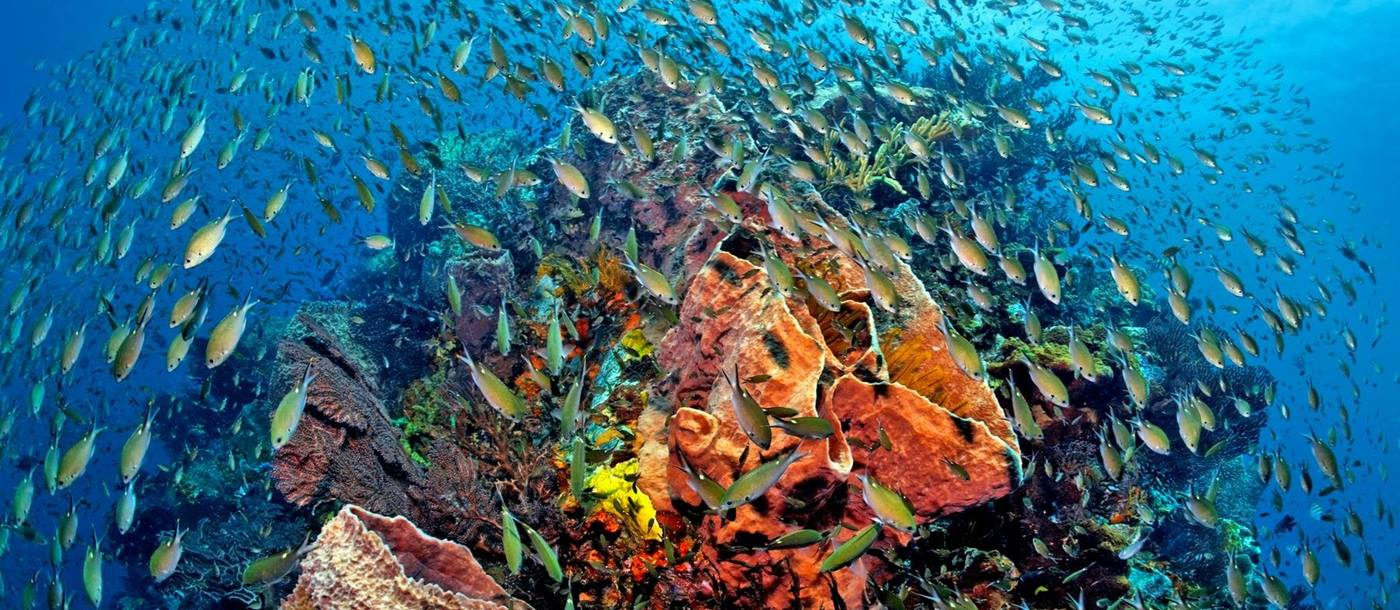 A swarm of fish swimming aroudn the coral near Anse Chastanet, St Lucia
