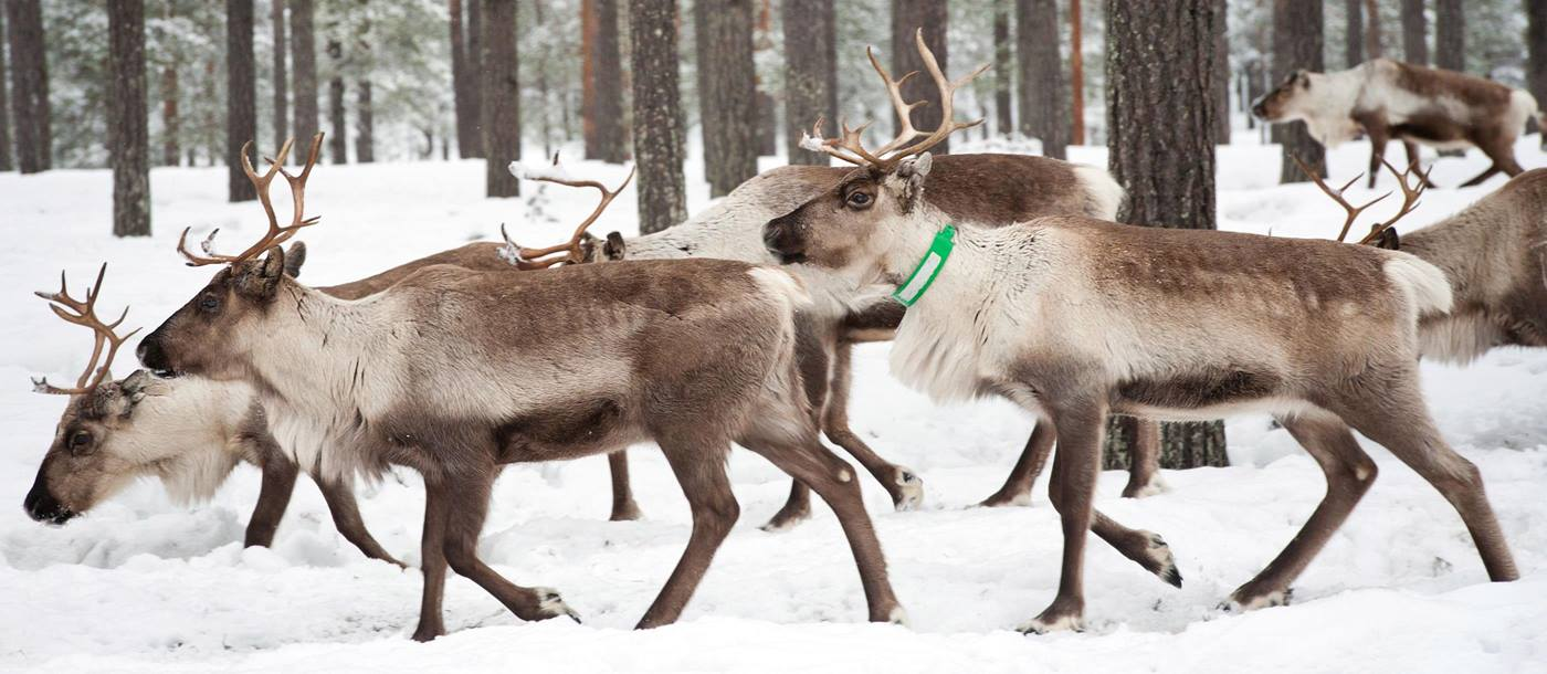 Reindeer in Sweden