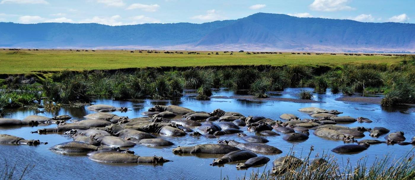 Hippos bathing in a river in the Ngorogoro Crater region of Tanzania
