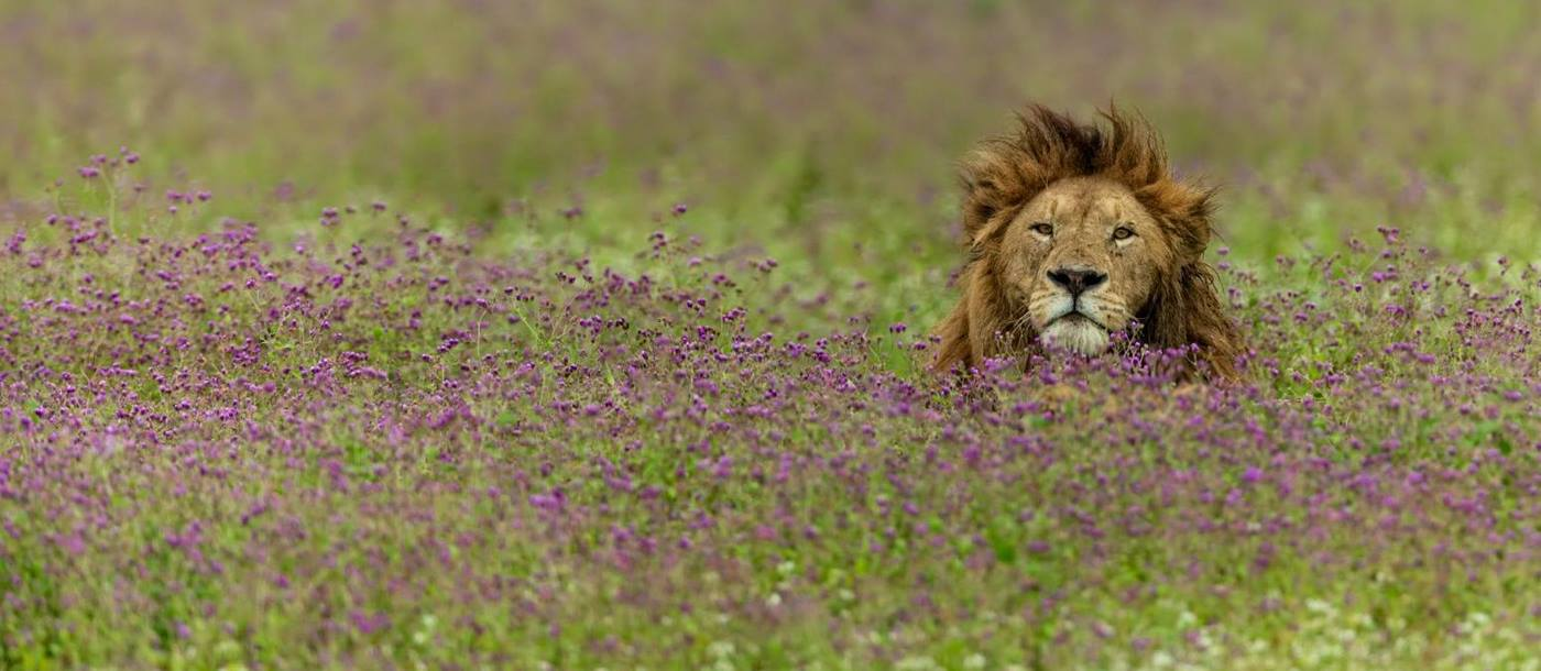 A male lion partially concealed by grasslands in in the Ngorogoro Crater region of Tanzania