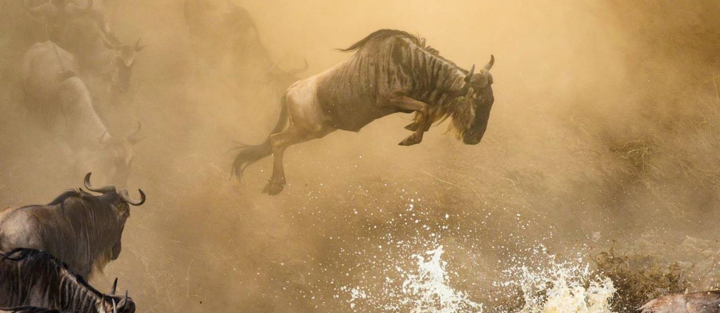 Action shot of a wildebeest leaping from a river bank on the Great Migration in Tanzania