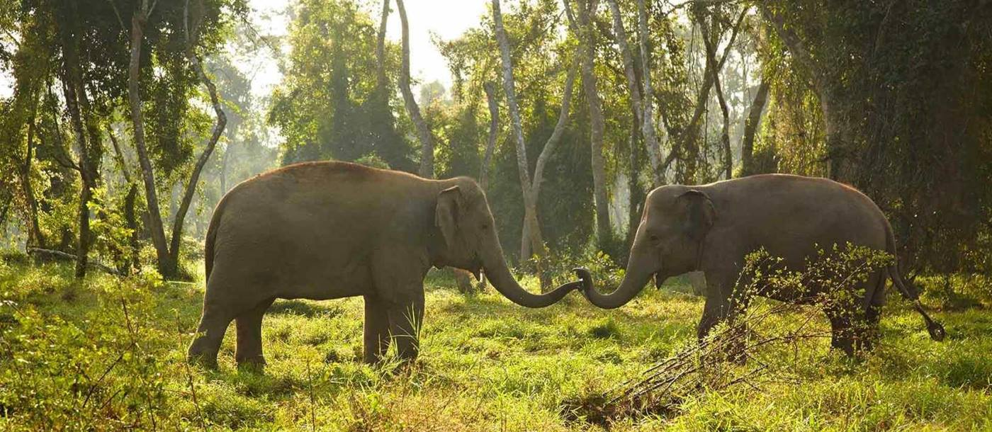 Two elephants in Thai forest near Chiang Mai
