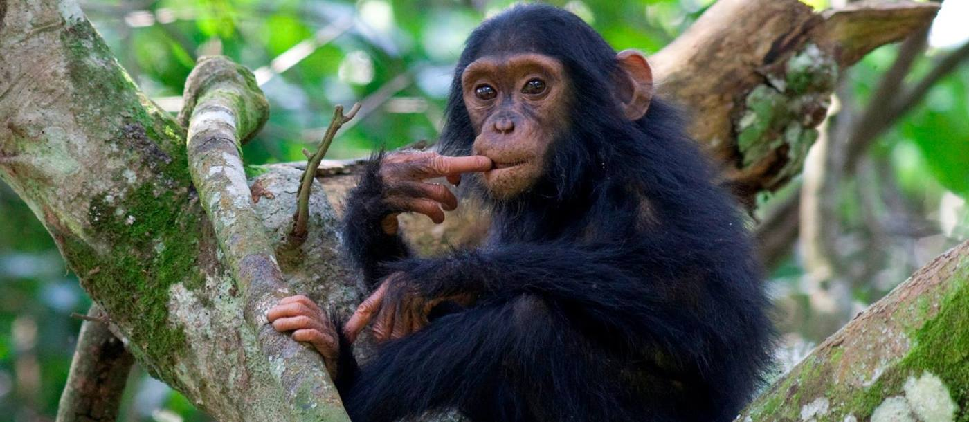 A chimp in Uganda