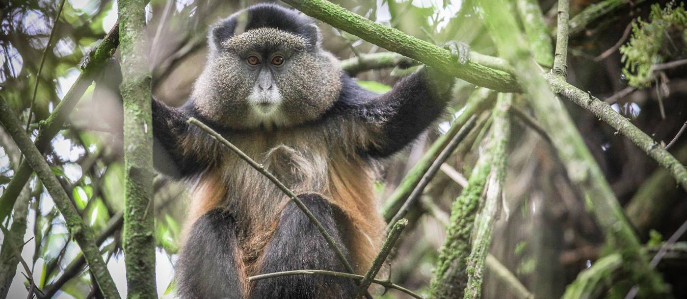 A golden monkey in Uganda