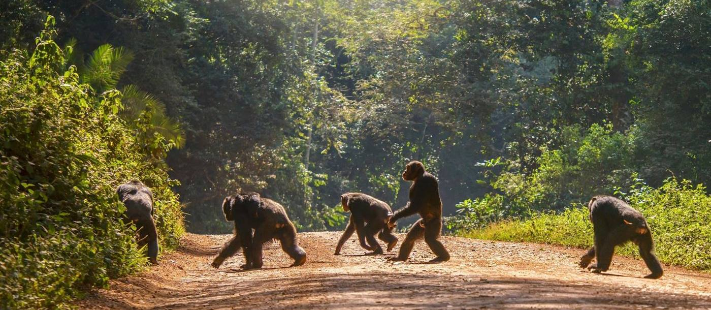 Group of chimps crossing the road in a forest reserve in Uganda