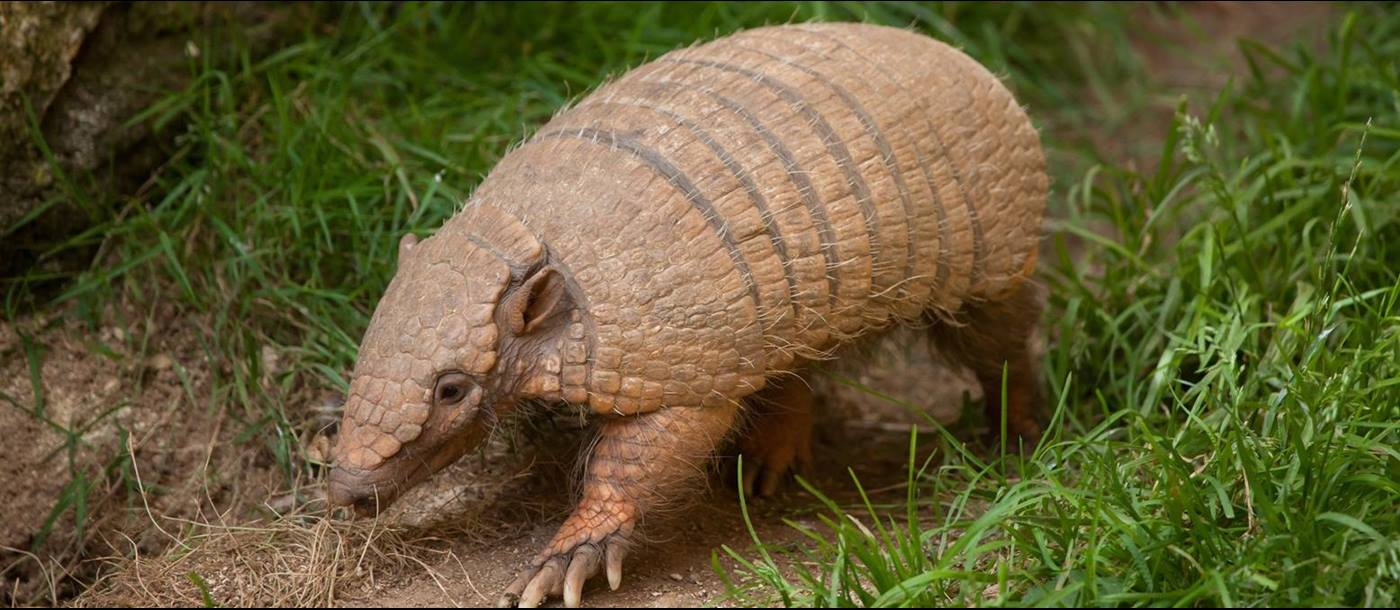 Armadillo seen in Uruguay