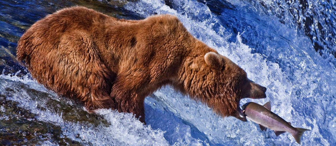 Brown bear catching salmon in Katmai National Park, USA