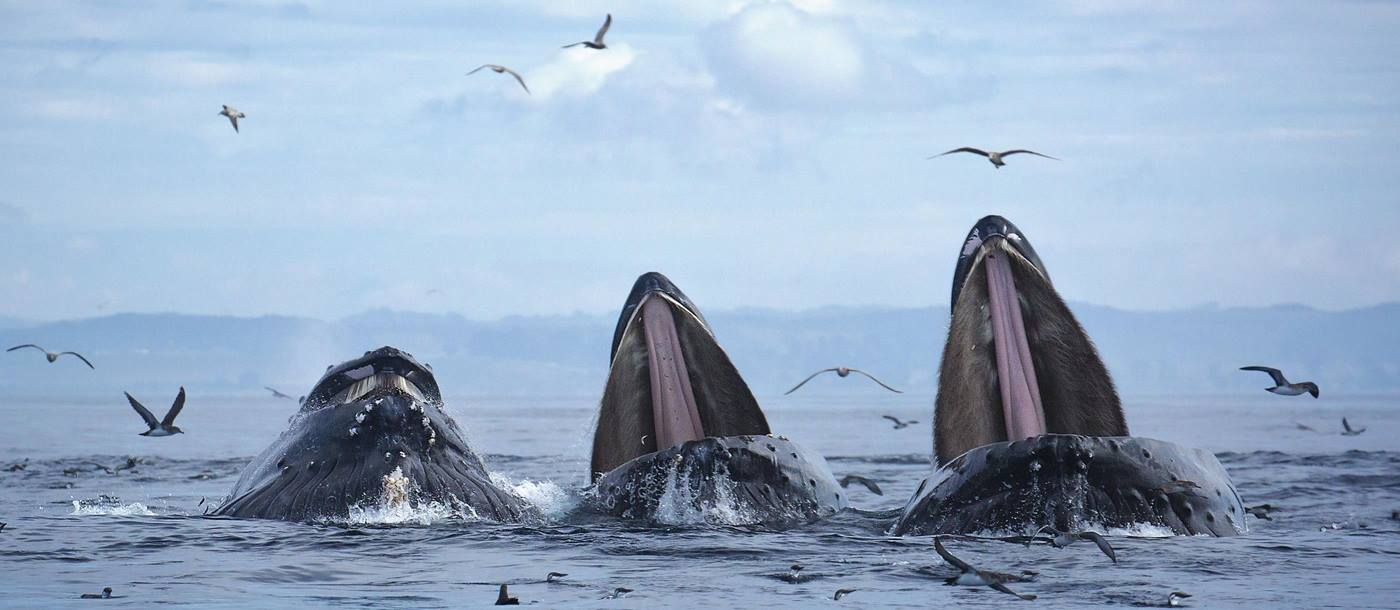 Humpback Whales in Monterey Bay, California, USA