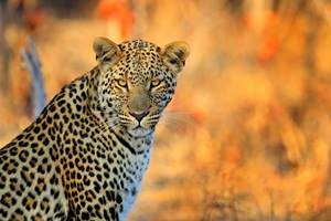 A leopard in Hwange National Park