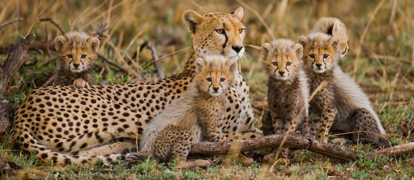 Cheetahs in the Serengeti, Tanzania
